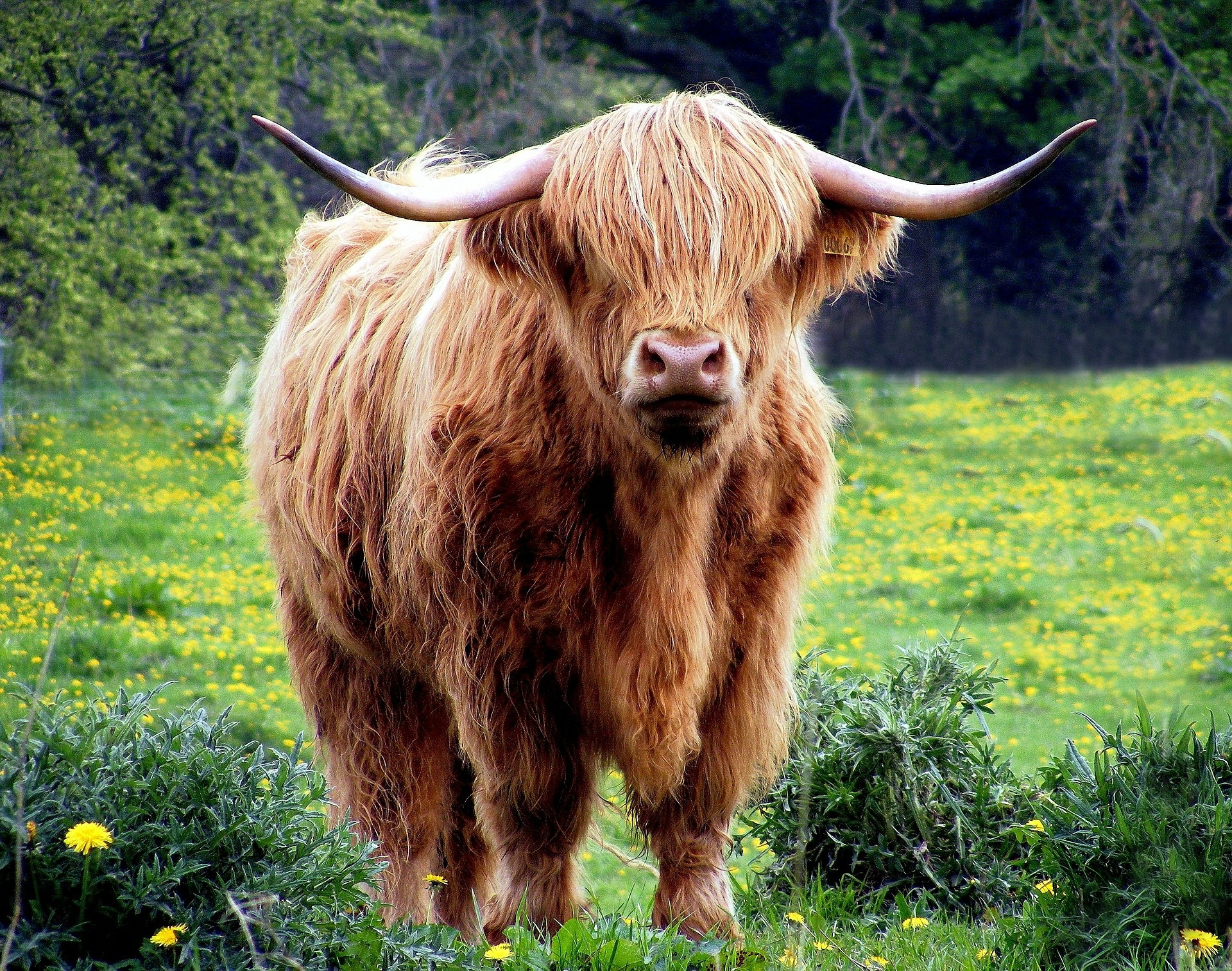 paragraph about cow Cow – essay, paragraph, speech, article, short note introduction (essay on cow) cow is one of the sacred animals of india domesticated in many indian homes especially in villages.